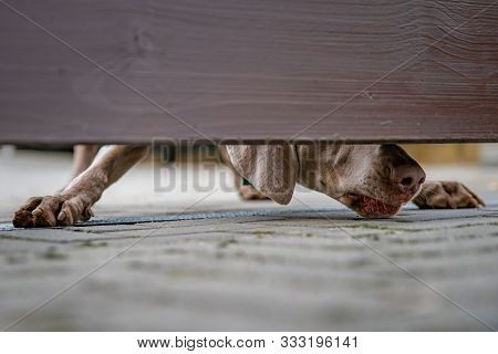 Dog Guarding The House Looks Out Into The Gap Under The Wooden Fence
