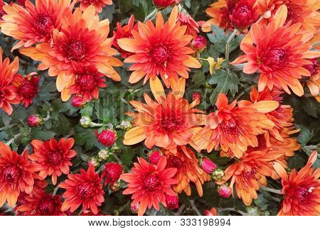 Beautiful Background Of Red Orange Chrysanthemum Flowers. Nature Autumn Floral Background. Chrysanth