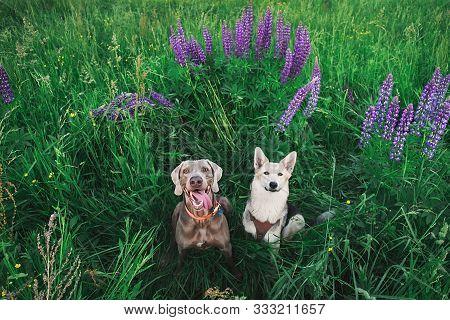 Cute Weimaraner And Shepherd Dogs Sitting In Bright Greens