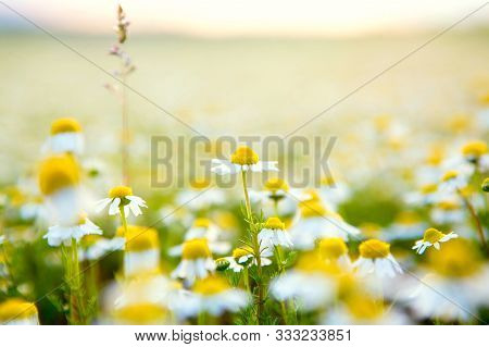 Chamomile Flowers Field Background. Beautiful Natural Blooming Medicinal Chamomile In Field. Alterna