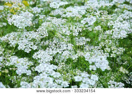 Green Cilantro White Flowers Background Produce Coriander Seeds Harvest. Cilantro (coriander) Plant