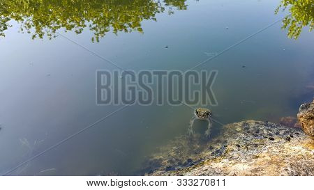 Frog In The Pond. Frog Resting On A Rock Near The Water. A Marsh Frog Sits Near A Pond. Sitting Frog