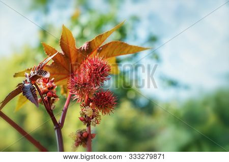 Ricinus communis, red spiny fruits and large carved leaves, close-up bokeh background. Ricinus plant source of Oleum Ricini. Oilseed, medicinal, healthy and ornamental garden plant.