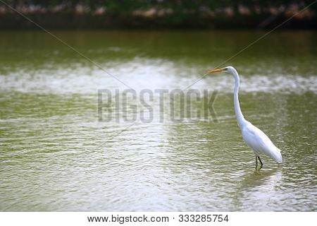 Egret Standing In The Marsh In The Mangrove Forest,egret Standing In The Marsh