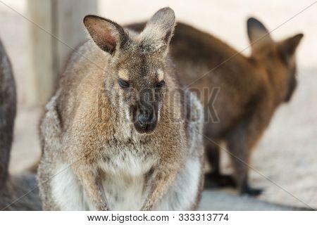 Eautiful Kangaroo. Forester (eastern Grey) Kangaroo, Macropus Giganteus, Familly, Tasmania, Australi