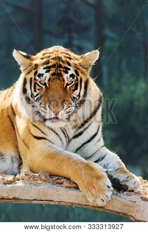 Tiger Imposingly Lies And Rests, Beautiful Powerful Big Tiger Cat (amur Tiger). Tiger Look. Big Cat.