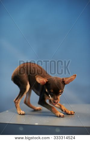 Beautiful Russian Toy Terrier On A Blue Background. Small Manual Domestic Dog. The Concept Of Pets.