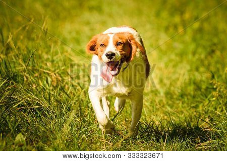 Epagneul Breton, Spaniel Breton, Brittany Spaniel, Bretonischer Spaniel Running On A Field