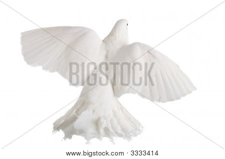 A photo of a dove isolated on white poster