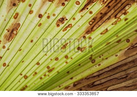 Fiji Fan Palm,leave Of Fiji Fan Palm Tree,fiji Fan Palm And Green Background,pritchardia Pacifica An