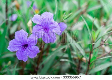 Purple Ruellias, Wild Petunias Blooming  In Garden.