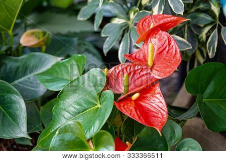 Beautiful Red Anthurium Flowers Outdoors Houseplant Leaves Exotic Garden