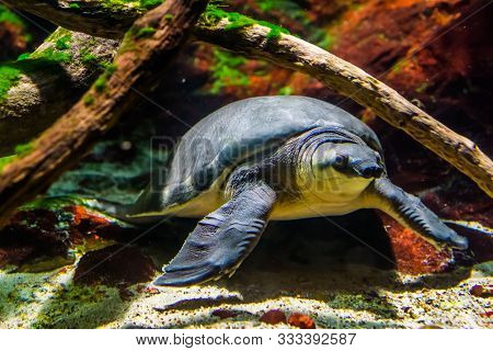poster of beautiful closeup of a pig nosed turtle swimming underwater, Endangered animal specie from Australia