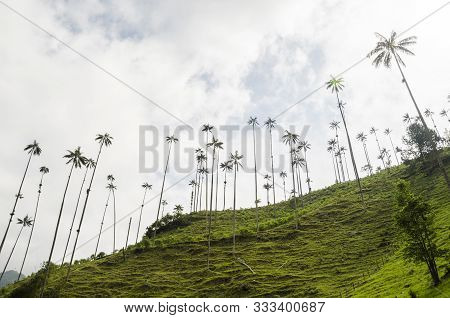 Cocora Valley Beautiful Landscape, With Quindio Wax Palms, Ceroxylon Quindiuense, National Tree Of C