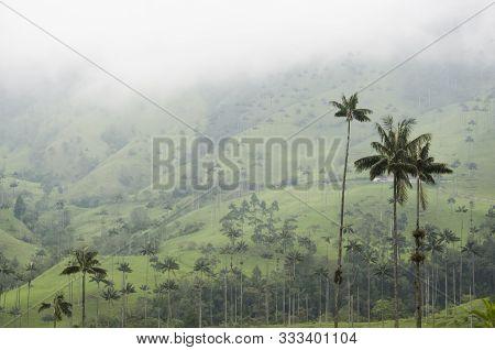 Cocora Valley Beautiful Foggy Landscape, With Quindio Wax Palms, Ceroxylon Quindiuense, National Tre
