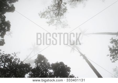 Upward View, Wax Palms, Ceroxylon Quindiuense, In The Middle Of A Dense Fog, In The Cocora Valley