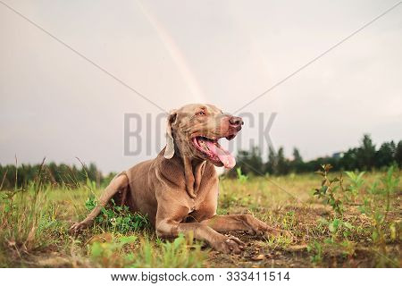 Playful happy laika and Weimaraner dogs having fun and playing together in park poster