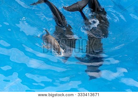 A Charming Baby Dolphin Swims Surrounded By Adult Dolphins In The Pool. Dolphin With Cub Swim In The