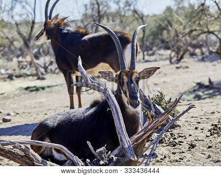 A Sable Antelope Laying Down In Between Branches