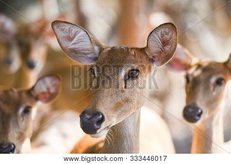 Eld's Deer Panolia Eldii Brow-antlered Deer In The Farm National Park
