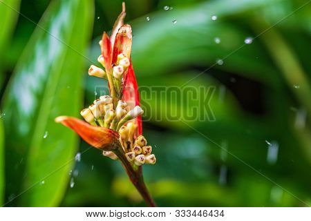 Parrot's Beak Or False Bird Of Paradise, Red Heliconia Under The Rain. Also Known With Name Parrot's