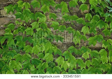 Hedera Helix, Common Ivy, English Ivy, European Ivy Evergreen Foliage On Old Brick House Wall, Horiz