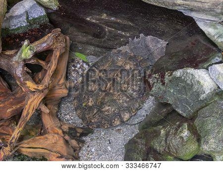 High Angle Shot Showing A Mata Mata Turtle In Riparian Ambiance