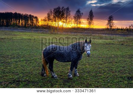Dappled Grey Horse Wearing A Harness Standing In A Pasture Looking At The Camera At Sunset With Tree