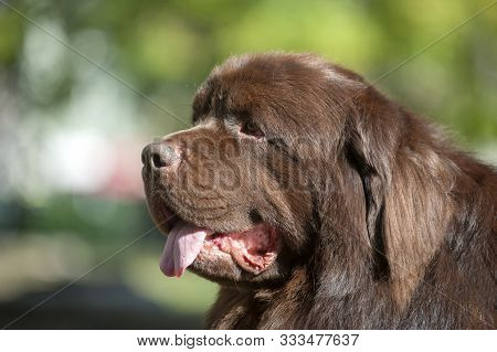 Portrait Of A Brown Newfoundland Dog On The Field