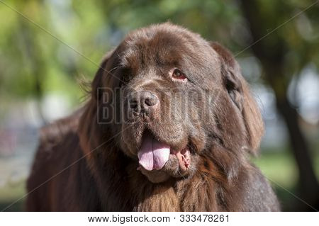 Portrait Of A Brown Newfoundland Dog In The Park