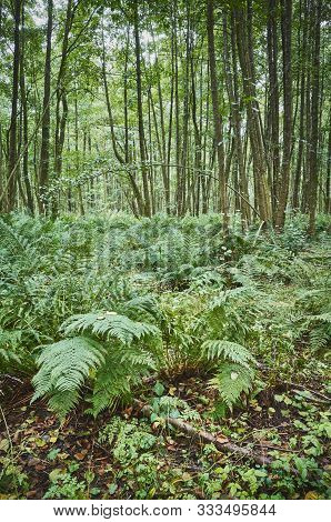 Pictue Of Ferns In Dense Primeval Forest.
