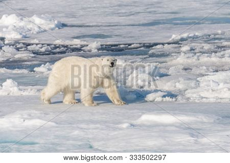 Polar Bear (ursus Maritimus) On The Pack Ice North Of Spitsbergen Island, Svalbard, Norway, Scandina