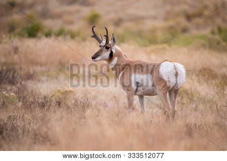 Antilocapra Americana, Pronghorn  Is Standing In Dry Grass, In Typical Autumn Environment, Majestic