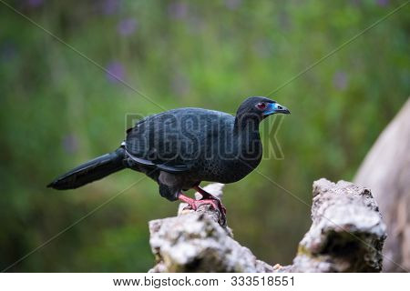 Black Guan, Chamaepetes Unicolor The Bird Is Perched On The Branch In Nice Wildlife Natural Environm