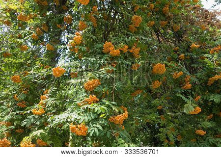 Orange Berries In The Leafage Of Sorbus Aucuparia