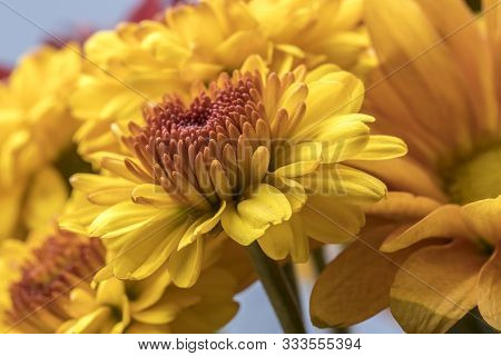 Bouquet Of Yellow Mum Flowers. A Close Up Studio Photo Of Yellow Mum Flowers From A Small Bouquet.