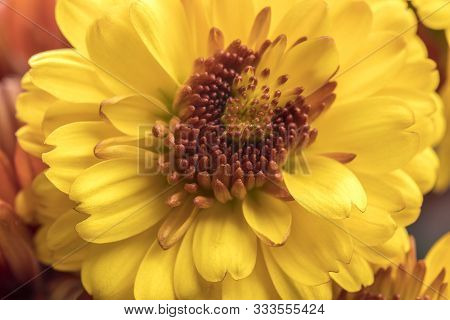 Macro Photo Of A Yellow Mum. A Close Up Studio Photo Of Yellow Mum Flowers From A Small Bouquet.