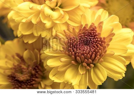 Yellow Mums In A Bouquet. A Close Up Studio Photo Of Yellow Mum Flowers From A Small Bouquet.
