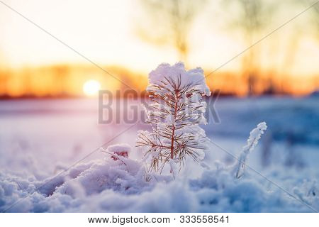 Winter Scenery With Snow Covered Small Pine Tree At Sunset. Idyllic Christmas Eve Landscape. Winter
