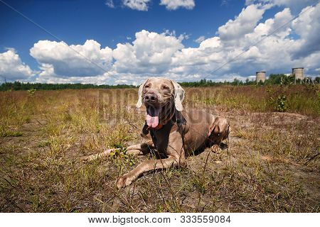 Weary adorable Weimaraner hound laying and chewing the stick on ground during in meadow poster