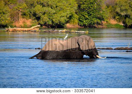 Elephant Crosses The Zambezi River With A Passenger.