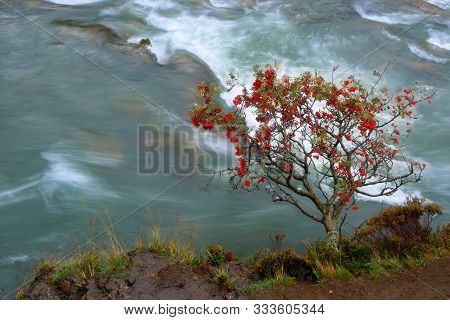 Tree With Red Fruits Laying Almost Horizontally Over The Water