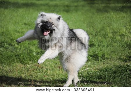 Cheerful Keeshond Puppy Is Playing And Frolic On The Grass