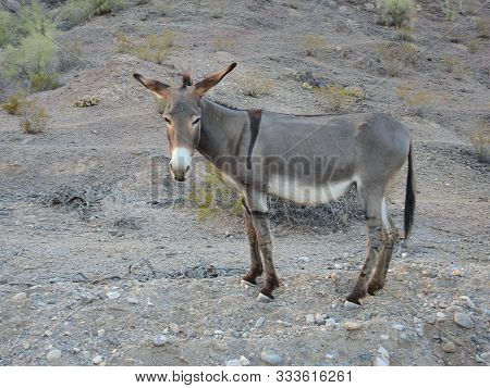Wild Burro Flapping His Ears,  Chemehuevi Mountains, Parker, California.