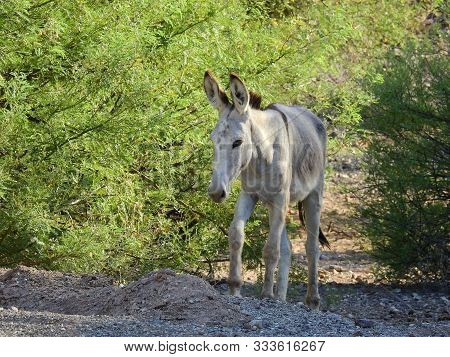 Wild Burro Making His Way Through The Desert, Bethlehem Donkey, Chemehuevi Mountains, Parker, Califo