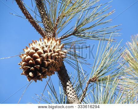 Large, Spiky Cones Growing On A Coulter Pine, Sespe Wilderness, Los Padres National Forest, Californ