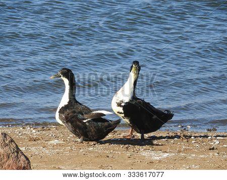 Duclair Ducks Waddling Along The Shores Of Lake Isabella,  Sierra Nevada Mountains, California.