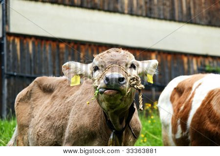 Courious Cow