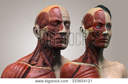 Human Body Anatomy Of The Male And Female , Man And Woman Anatomy Background , Muscle Anatomy Struct