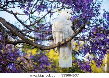 Sulphur-crested Cockatoo Seating On A Beautiful Blooming Jacaranda Tree. Urban Wildlife. Australian